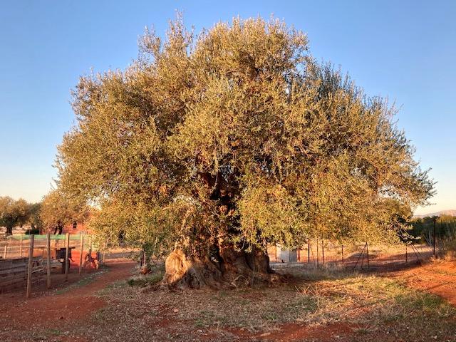 Gli olivi di Eumelia