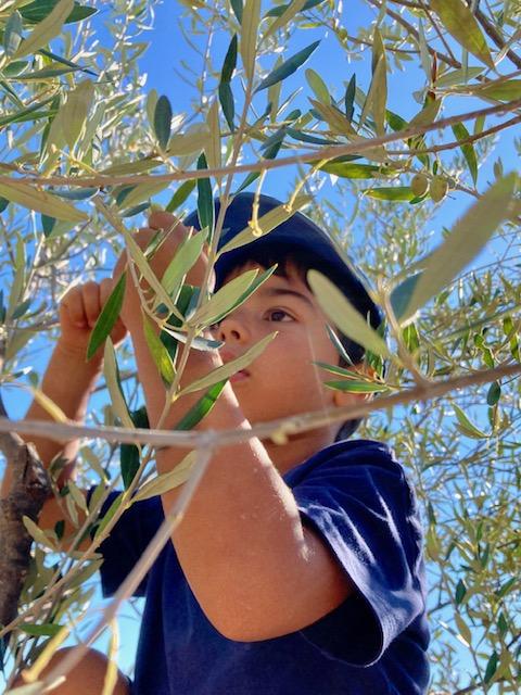 iasonas raccoglie le olive